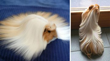 13 Guinea Pigs With The Most Amazing Hair Ever