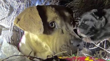 Pit Bull Momma Kisses Her Babies One By One As Rescuers Pull Them To Safety