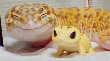 This Gecko Is So Happy When He's Around His Toy Gecko. Their Pics Will Make You Smile