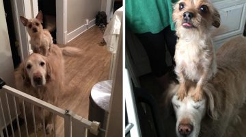 Tiny Dog Uses Her Big Brother To Do EVERYTHING
