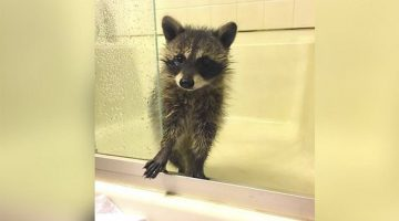 Baby Raccoon Found Abandoned After Falling From A Tree Gets Adopted By Family