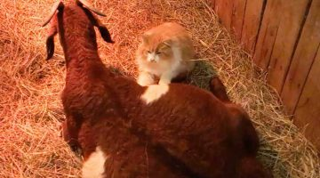 Lonely Momma Goat Was Only Days Away From Giving Birth. Then This Cat Showed Up To Help Her Through It