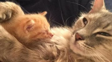 Cat Who Was Heartbroken After Losing Her Kittens Finds Happiness In Orphaned Kitten Who Needed A Mom