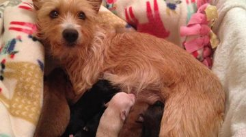 Dog Momma Who Lost Her Own Puppies Adopts Rescued Puppies That Were Thrown From Car Window