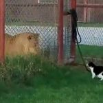 Brave House Cat Challenges Big Lion, Shows That Size Doesn't Matter