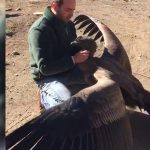 Condor Flies Down To Say Hi To The Man Who Saved Him As A Chick