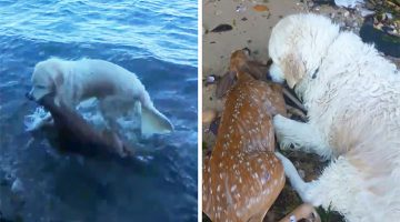 Dog Jumps Into The Water To Save Baby Deer From Drowning (Video)
