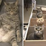 This Cat Dad Got A Little Overweight So His Owners Found A Very Creative Solution