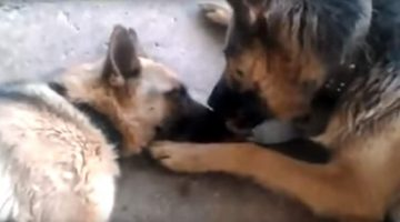 After German Shepherd Mother Gives Birth, Proud Dad Shows Her How Much He Loves Her (Video)
