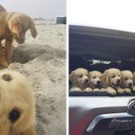 13 Pictures Of Golden Retriever Puppies That Show Just How Adorable They Are