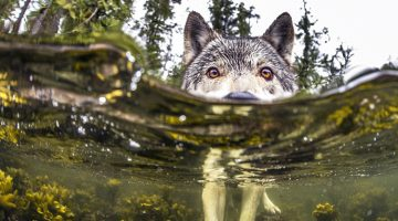 There's A Rare Kind Of Sea Wolves That Live Off The Ocean And Can Swim For Hours
