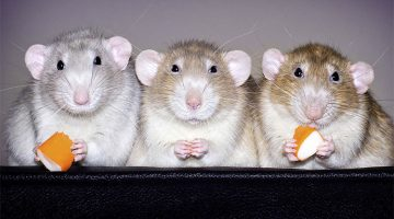 Photographer Spent Years Taking Pictures Of Rats To Prove They're Also Adorable