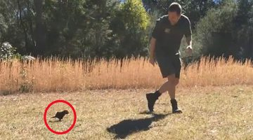 Baby Tasmanian Devil Loves His Human So Much That It Follows Him Everywhere
