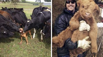Cows Are Just Big Dogs (13 Adorable Pics)