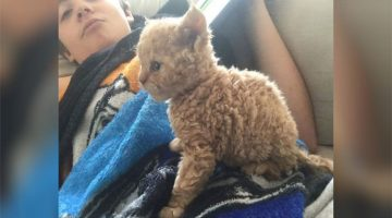 These Curly-Haired Kittens Are All Descended From One Rescue Cat