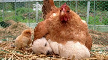 12 Pictures Showing That Hens Are The Best Mothers In The Animal Kingdom