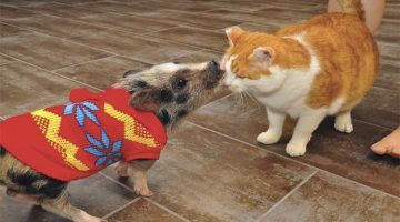 Piglet And Cat That Grew Up Together Become Best Friends For Life