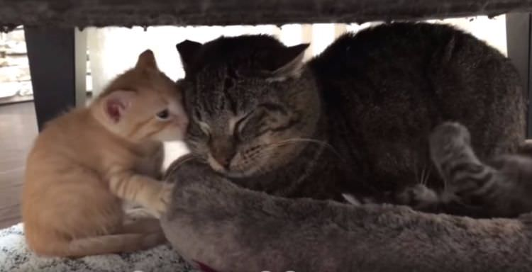 rescue-cat-softens-with-kittens