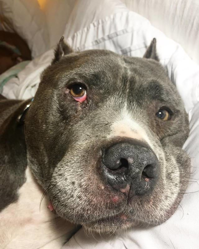 senior-pit-bull-rescued