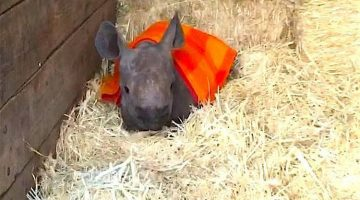 This Baby Rhino Loves To Cuddle Under His Little Blanket And It's Just Too Cute (Video)