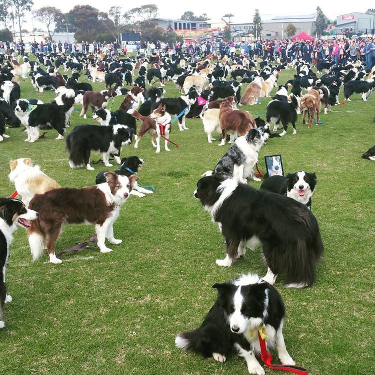 576 Border Collies Gathered Together In Australia To Break