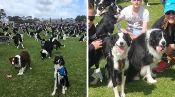 576 Border Collies Gathered Together In Australia To Break A World Record