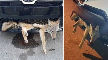 Coyote Defies All Odds And Surprises Everyone After Being Hit By A Car
