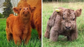 13 Adorable Highland Cattle Calves That Will Make You Smile