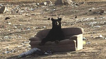 This Bear Decided To Relax On A Couch Someone Threw Away