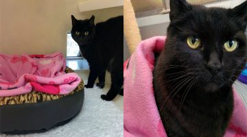 11-Year-Old Shelter Cat Won't Go Anywhere Without Her Pig Blanket