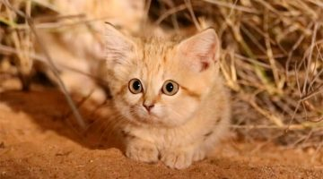 Wild Sand Kittens Have Just Been Caught On Camera For The First Time Ever And They're Simply Adorable