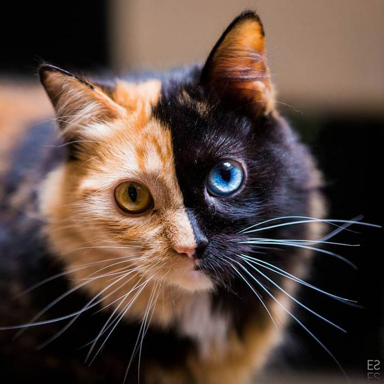 chimera-two-faced-kitten