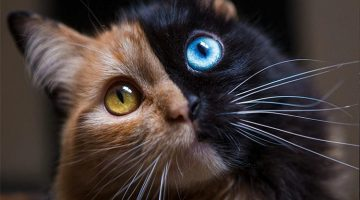 This 'Chimera' Kitten Is The Internet's Cutest Two-Faced Cat