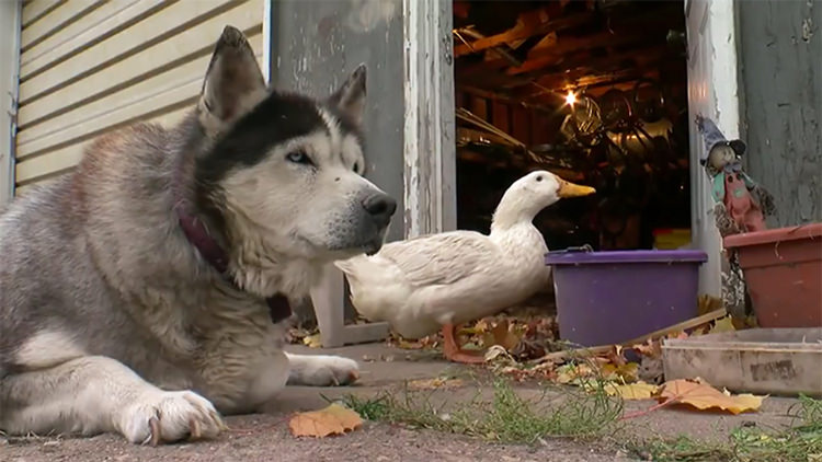 dog-duck-unlikely-friendship