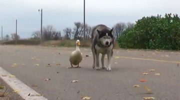 Unusual Friendship Between A Dog And A Duck Surprises Everyone In A Small Town