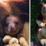 18 Of The Most Adorable Tree-Kangaroos