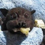 Baby Bat Rescued After Being Hit By Car Stuffs Her Cheeks With Banana, And The Video Is So Adorable