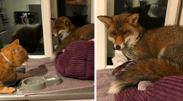 Woman Discovers A Fox Has Taken Over Her Cat's Bed, Gets Surprised By The Way It Behaves