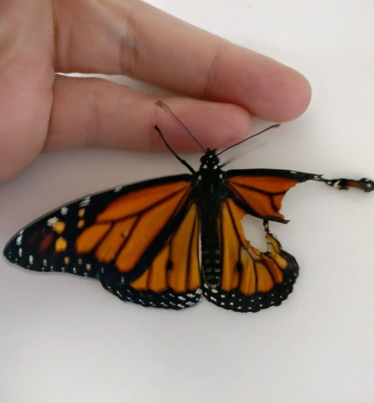 monarch-butterfly-wing-surgery