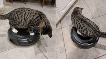 Rescue Kitty Is Obsessed With His New Mom's Roomba