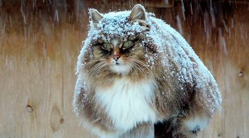 Russian Farmer Takes Incredible Pictures Of Her Majestic Siberian Cats